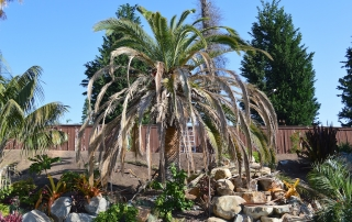Canary Island Date Palm with Fusarium Wilt